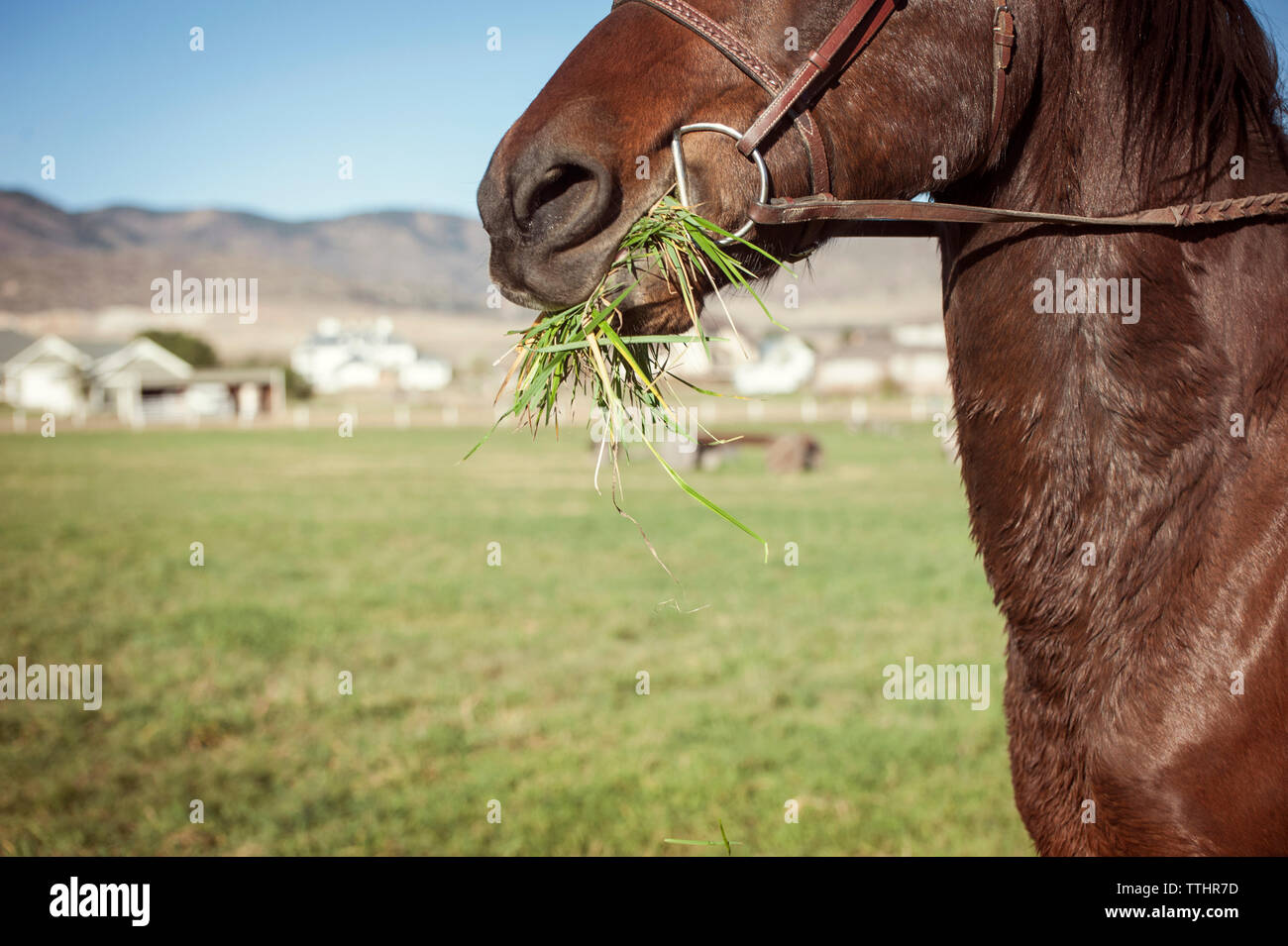 Cropped image of horse eating grass on field - Stock Image