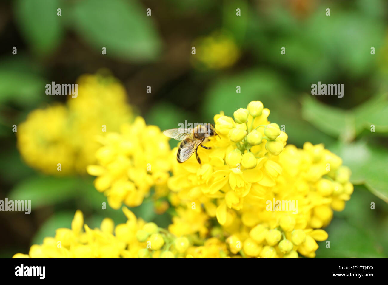 Bee on blooming spring bush, closeup - Stock Image