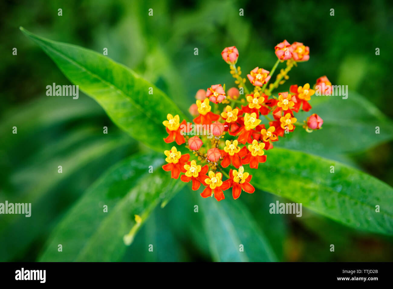 Overhead view of lantana camara blooming on plant at park - Stock Image