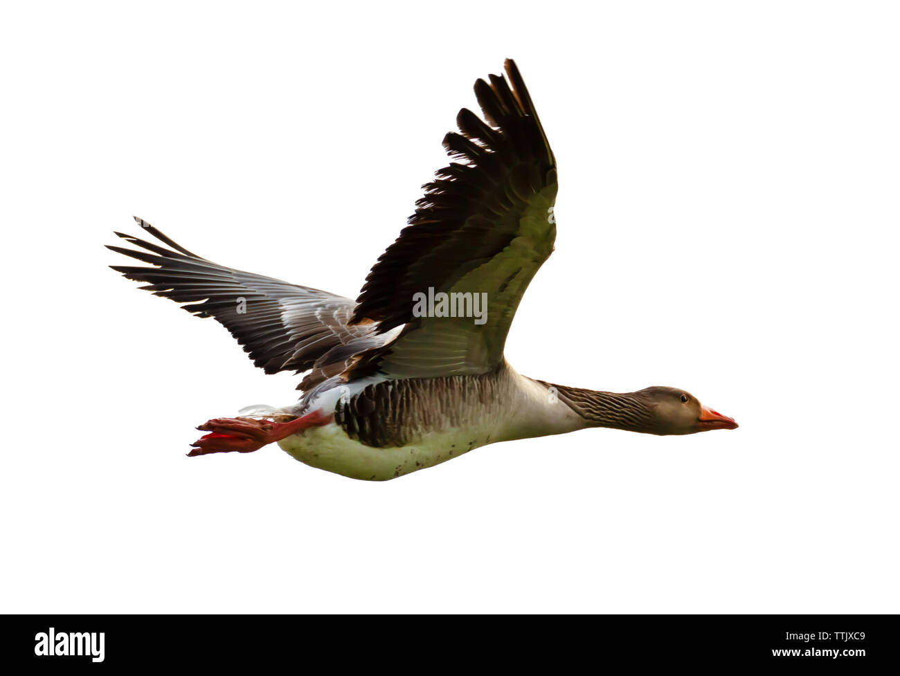 A gray goose flying from left to right, isolated on white. - Stock Image