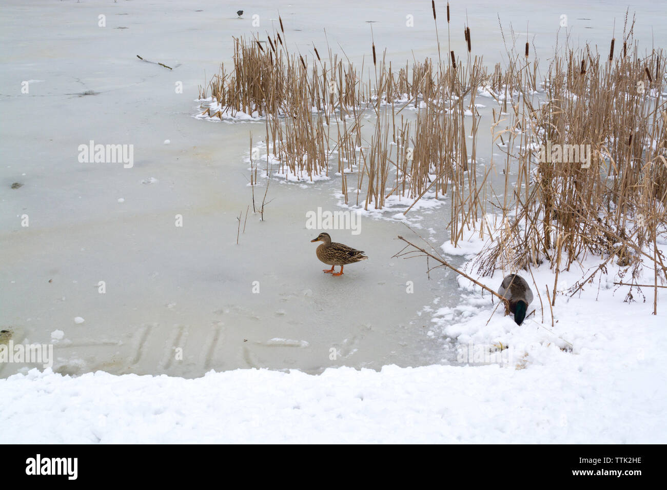 Ducks in frozen lake in Campbell park after heavy snow shower - Stock Image