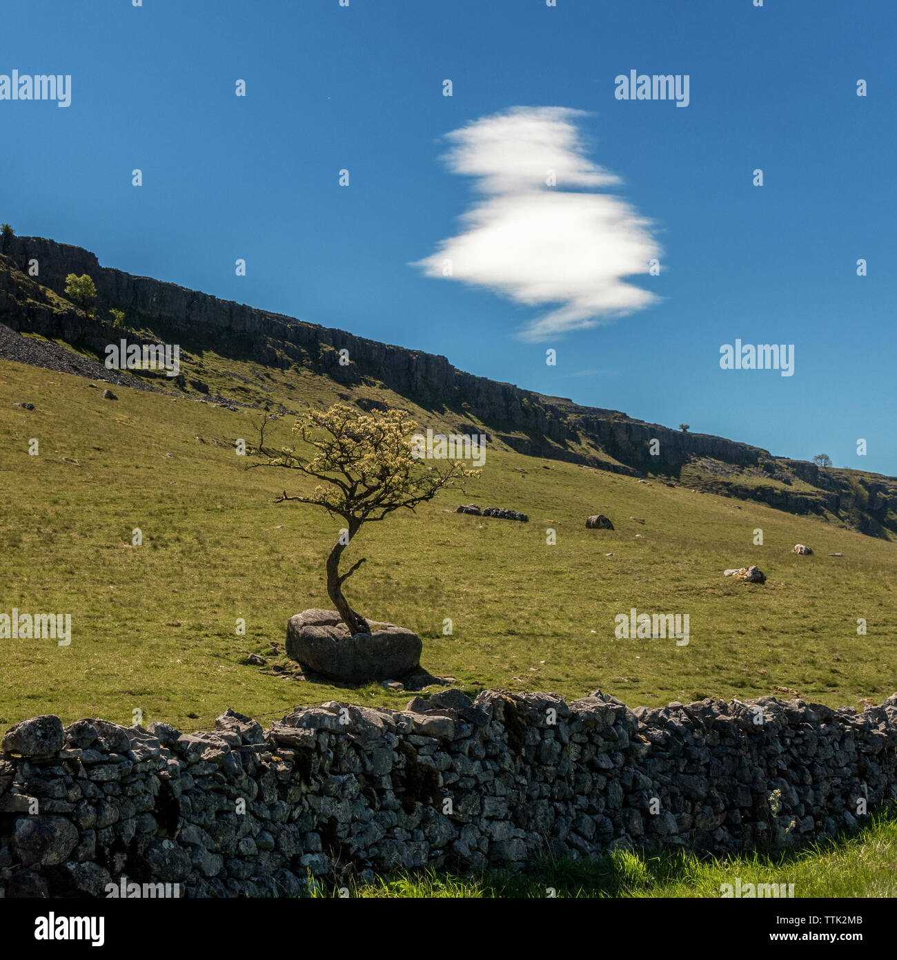 UK Landscape: Hawthorn tree growing out of a limestone rock in Chapel-le-Dale, Yorkshire Dales - Stock Image