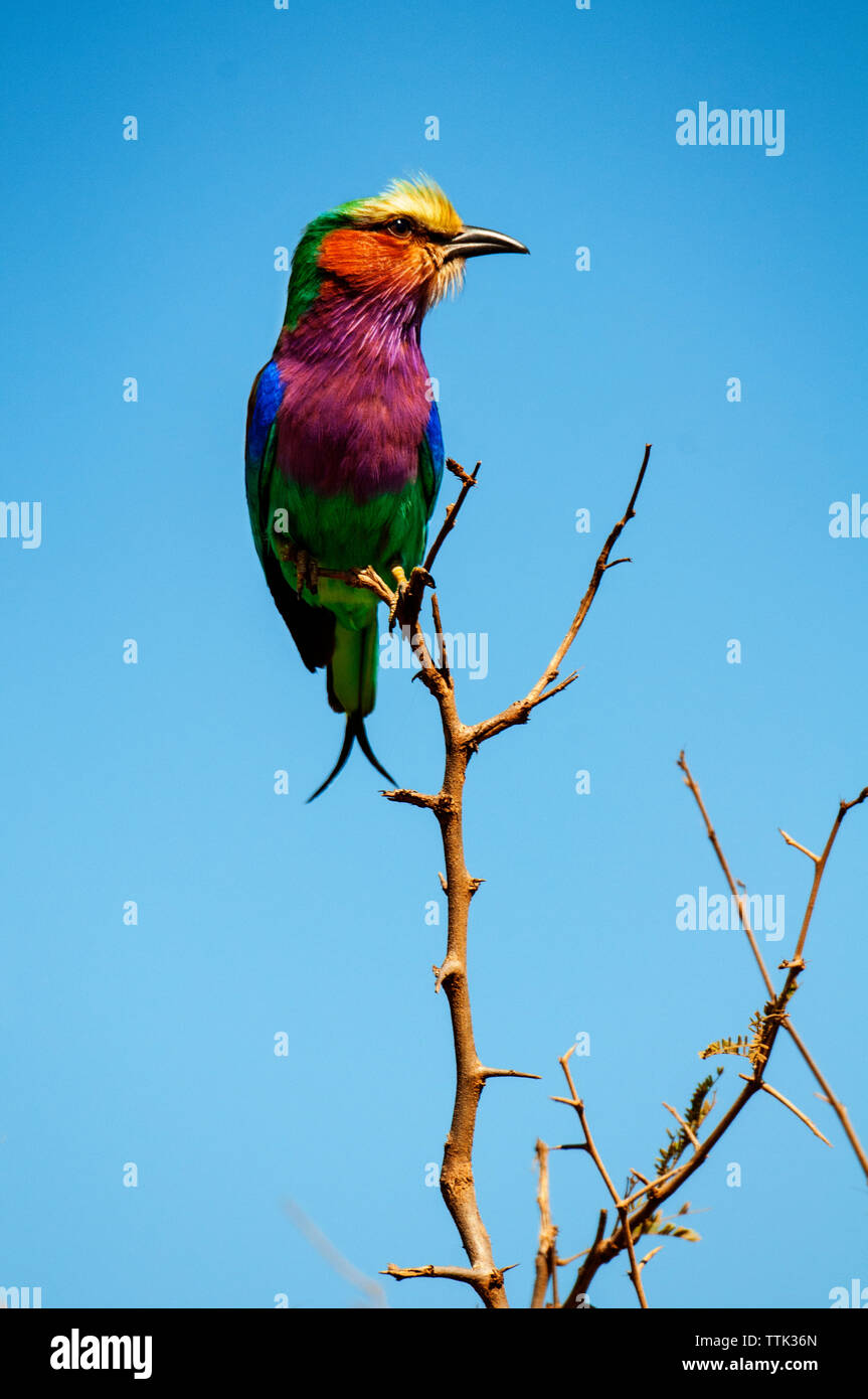 Low angle view of lilac-breasted roller perching on tree branch against clear blue sky Stock Photo