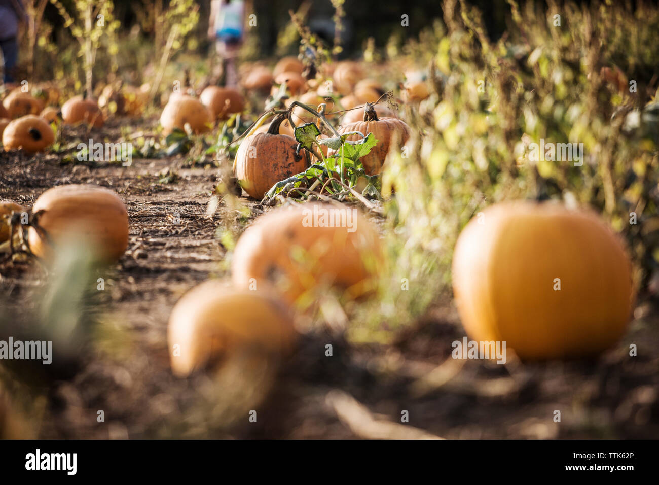 Pumpkins growing on field - Stock Image