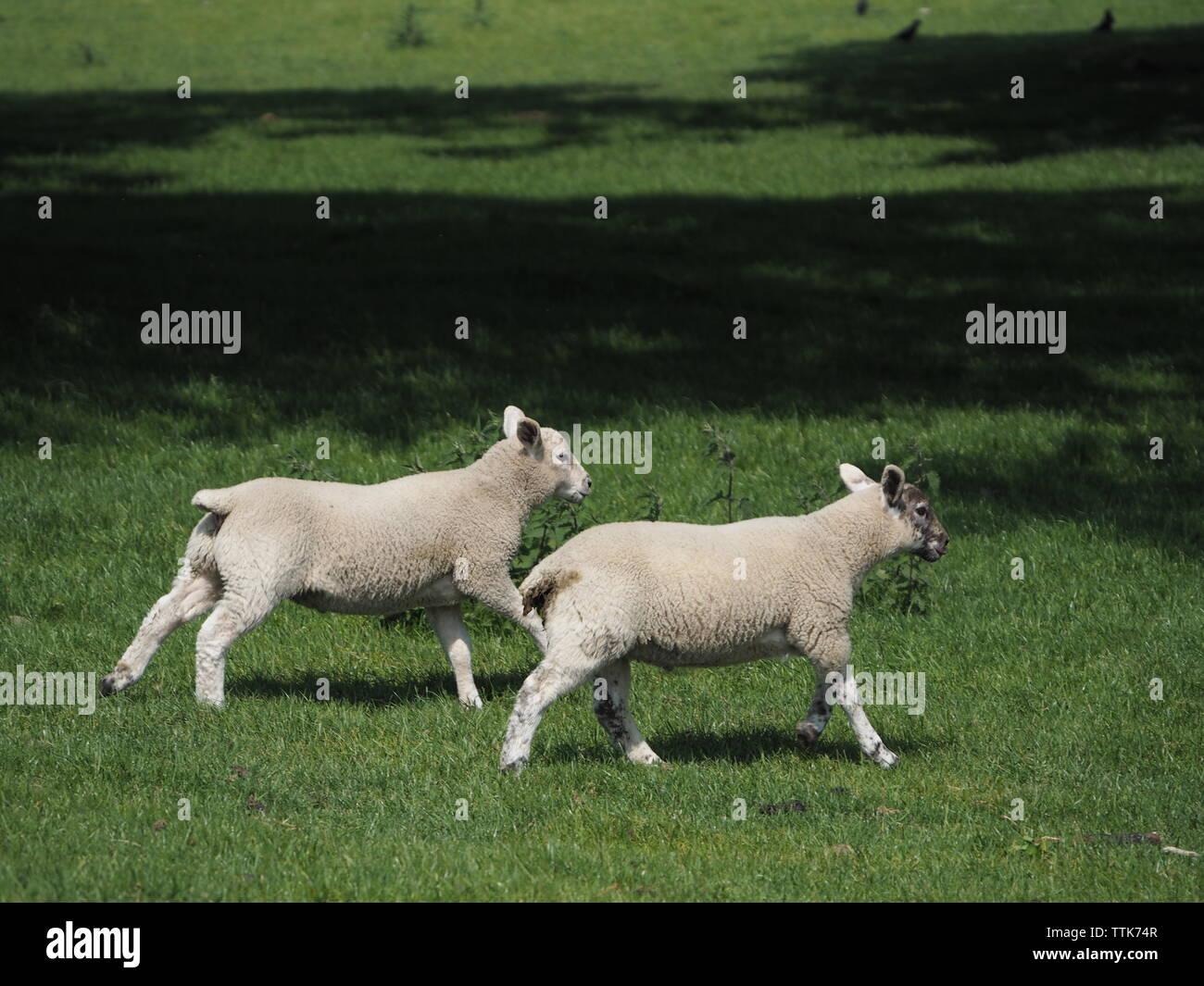 Running Lamb Stock Photos & Running Lamb Stock Images - Page