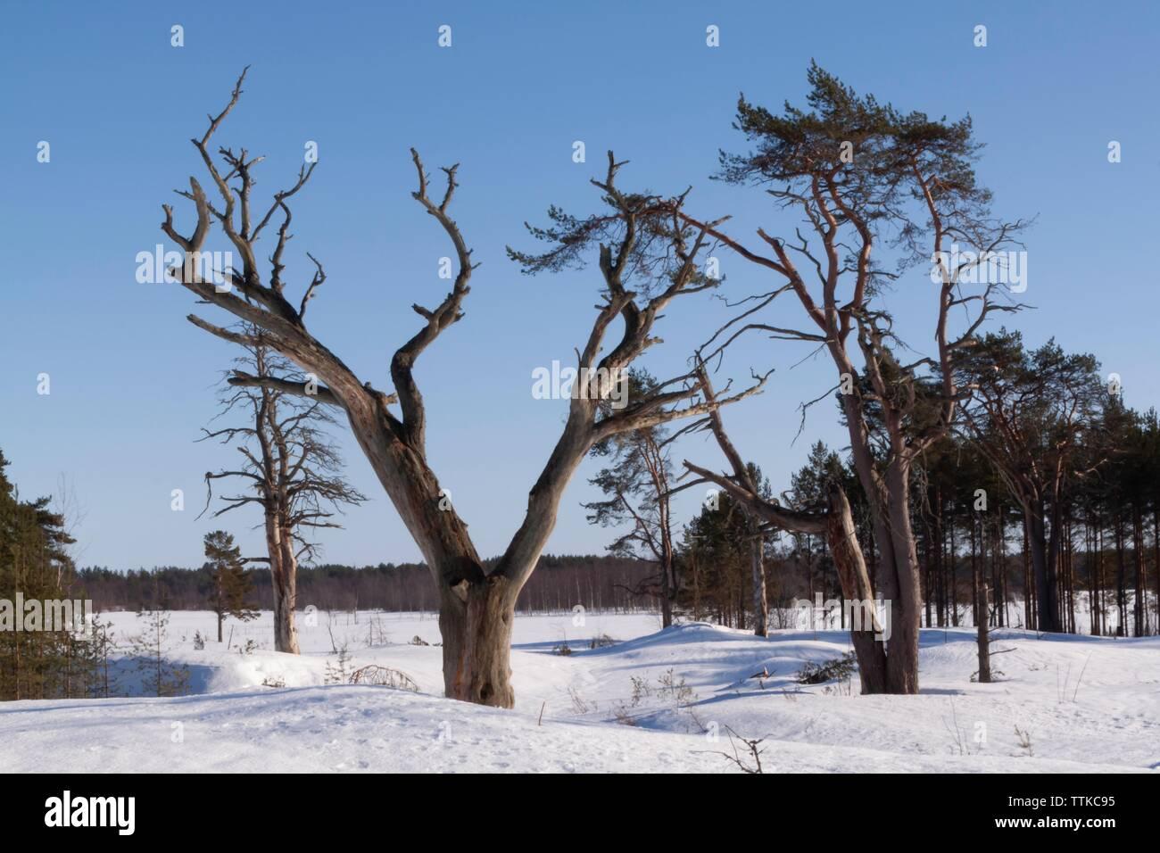 Forest area with dead trees, Hailuoto Island, North Ostrobothnia, Finland Stock Photo