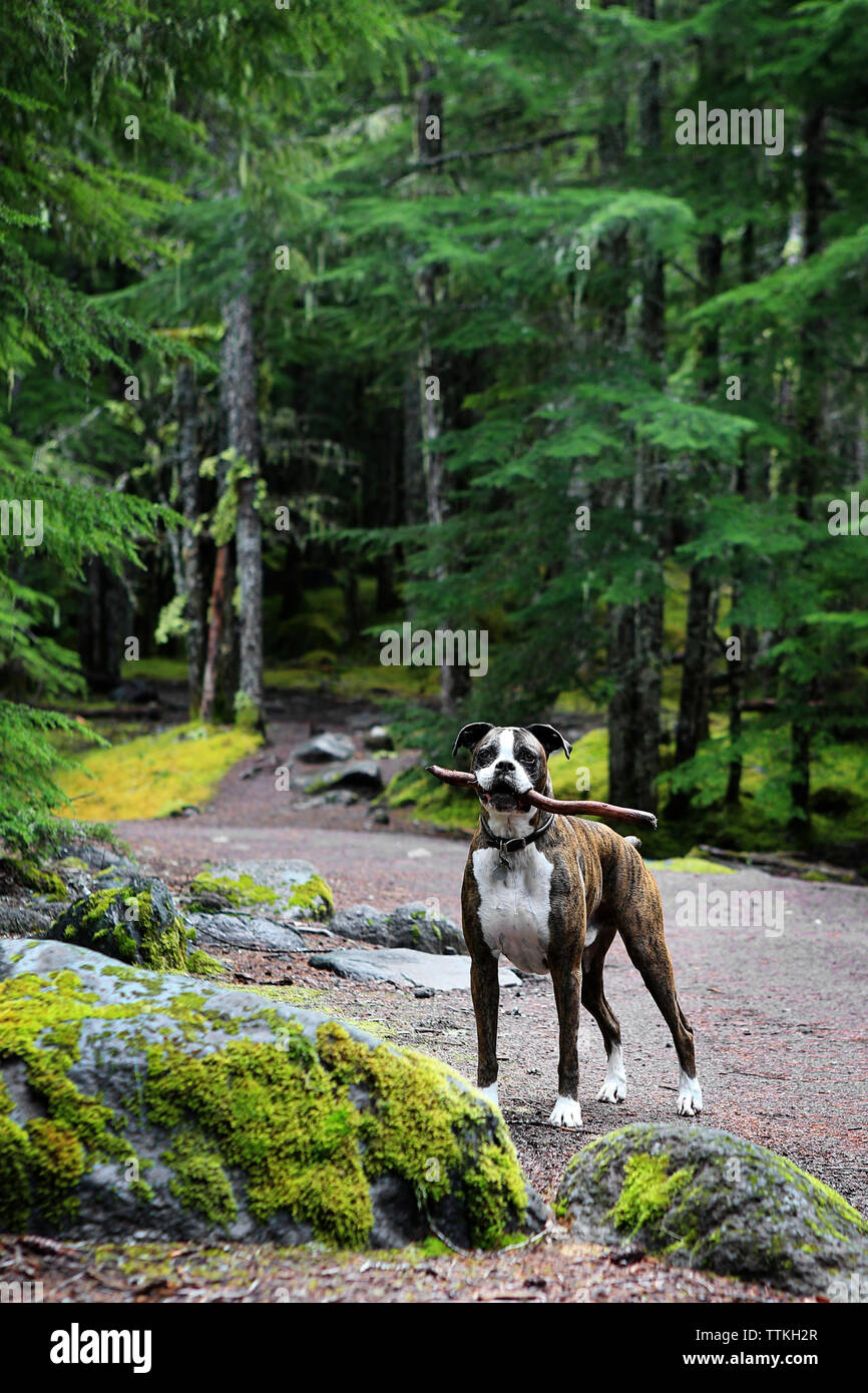 Portrait of Boxer carrying stick in mouth while standing at forest - Stock Image