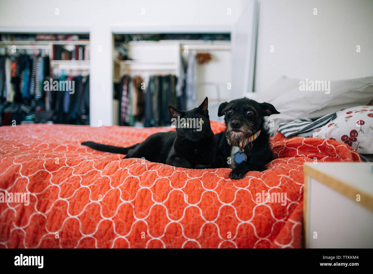 Portrait of cat and dog lying on bed at home - Stock Image