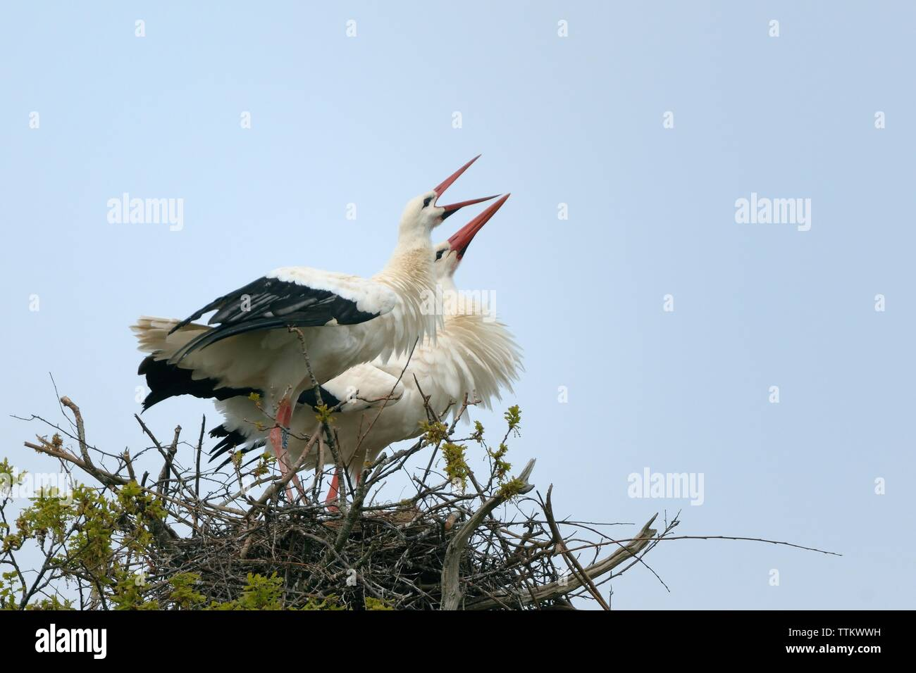 White stork (Ciconia ciconia) pair perform an aggressive display as a buzzard flies too close to their nest in an oak tree, Knepp Estate, Sussex, UK. Stock Photo