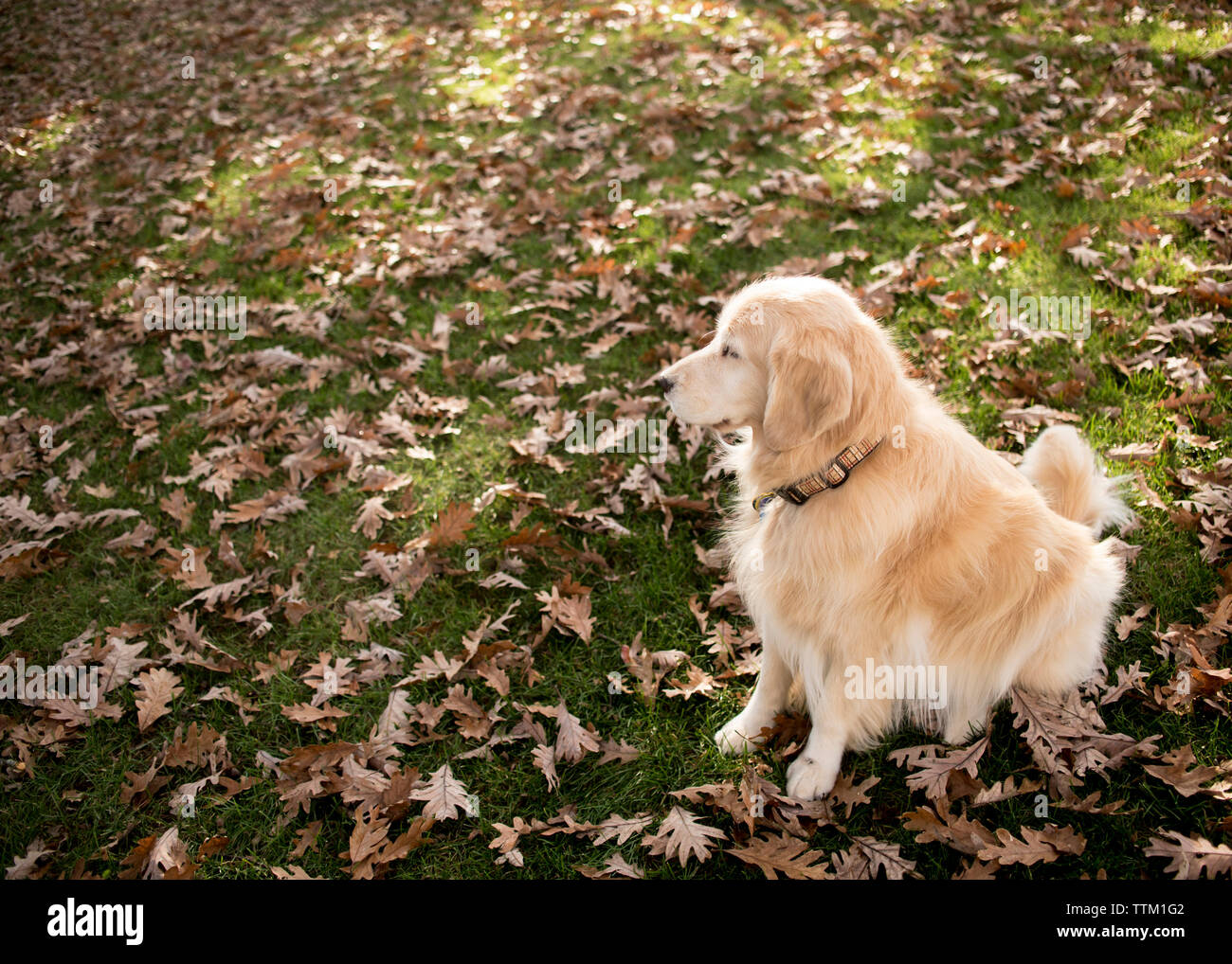 High angle view of hairy Golden Retriever looking away while sitting on field with dry leaves in park during autumn - Stock Image