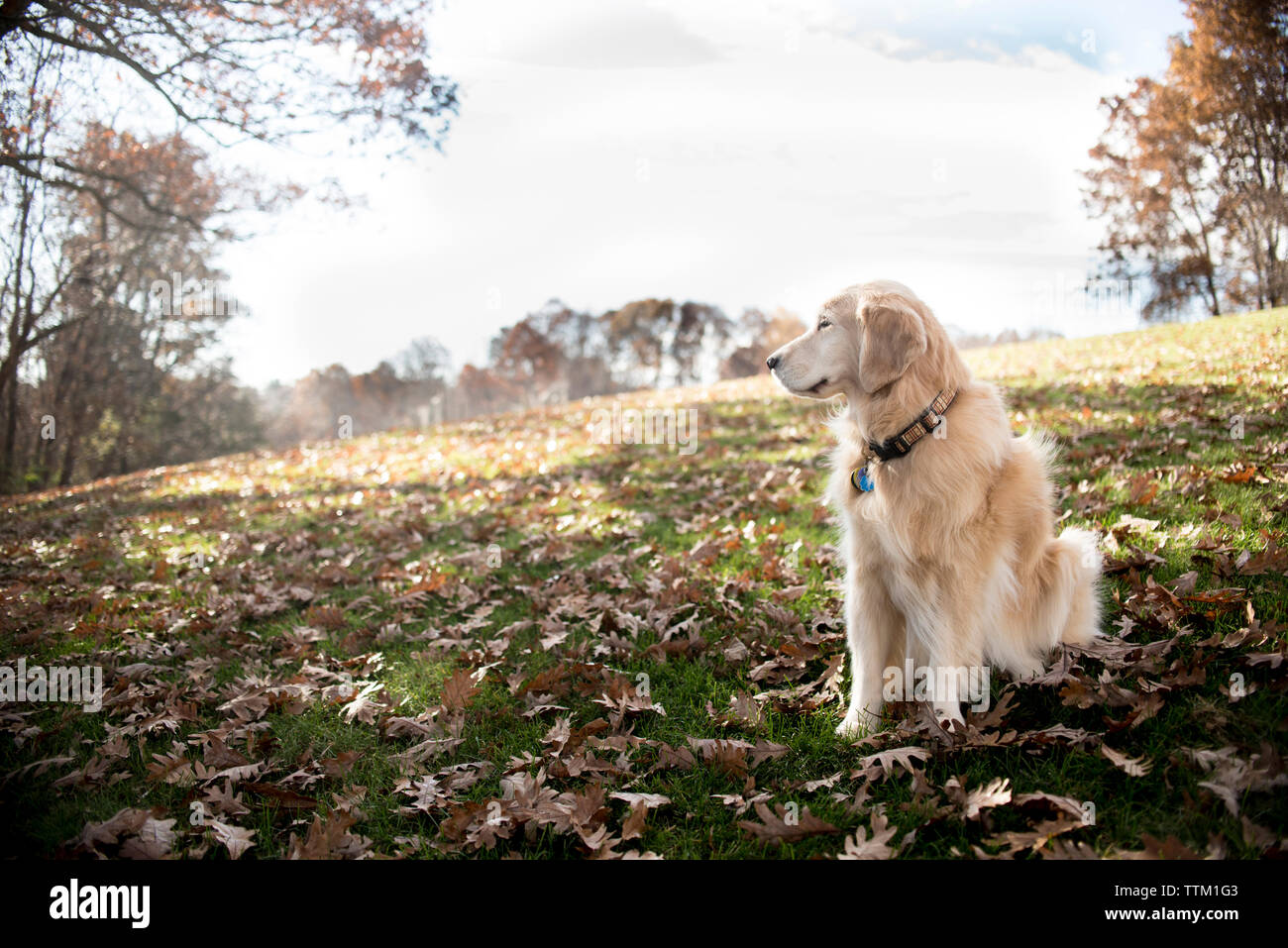Hairy Golden Retriever looking away while sitting on field with dry leaves in park during autumn - Stock Image