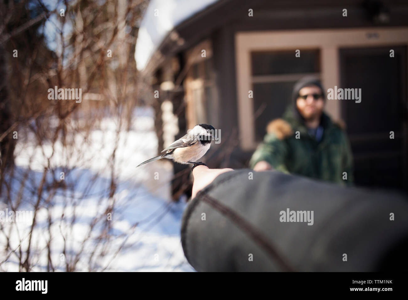 Carolina chickadee perching on woman's hand during winter - Stock Image