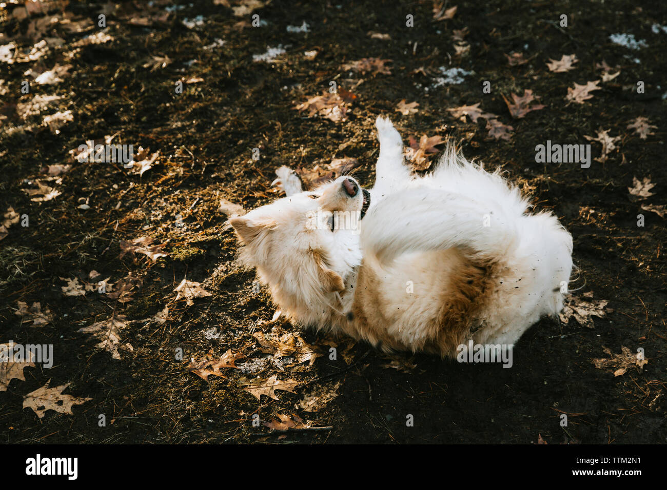 High angle view of hairy dog lying on field during autumn - Stock Image