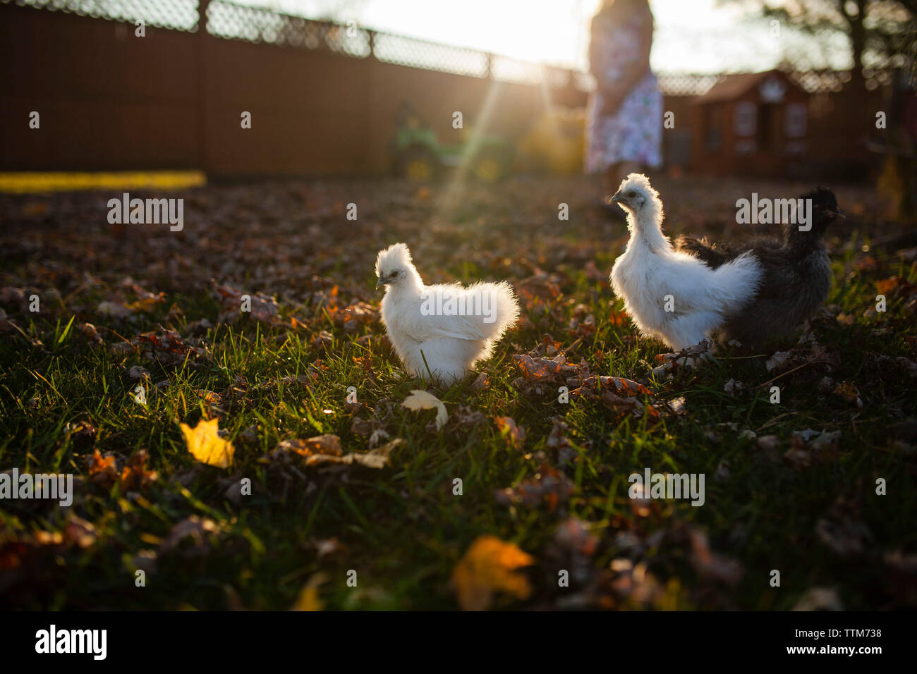 Baby chickens in farm during sunset - Stock Image