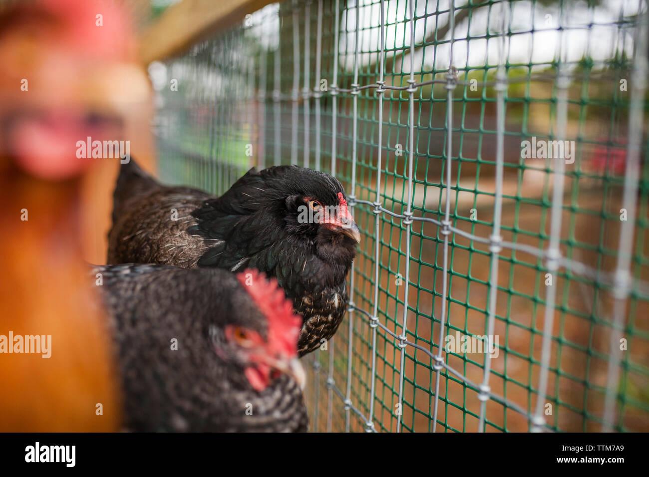 Black hens in chicken coop - Stock Image