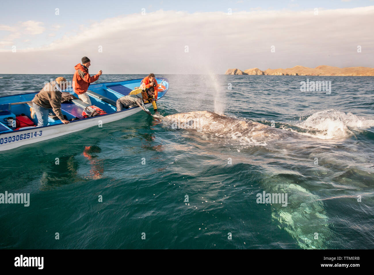 MEXICO, Baja, Magdalena Bay, Pacific Ocean, a grey whale seen while out whale watching in the bay Stock Photo