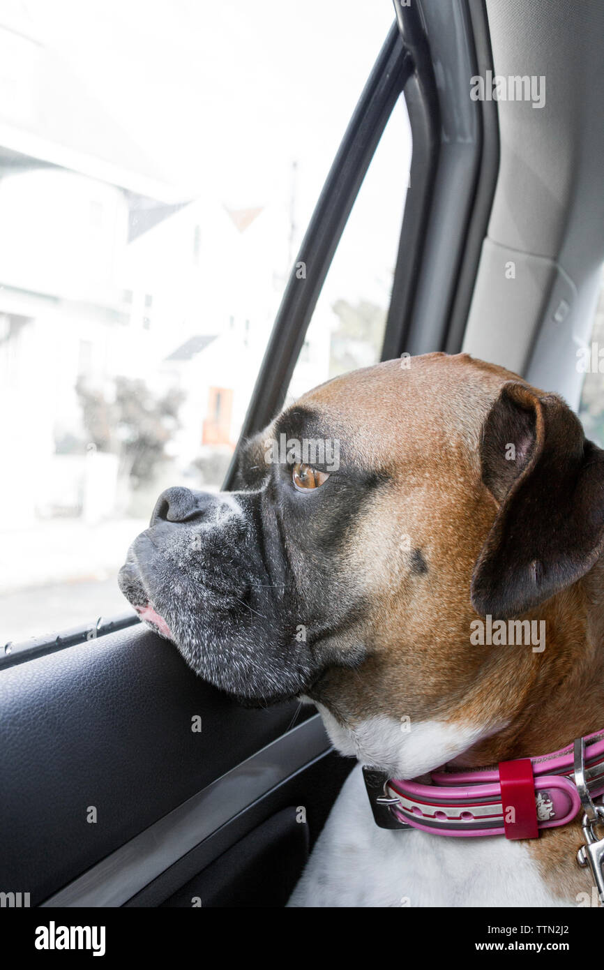 Adult female brown (fawn) Boxer dog riding in the backseat of a car, looking out through a closed window - Stock Image
