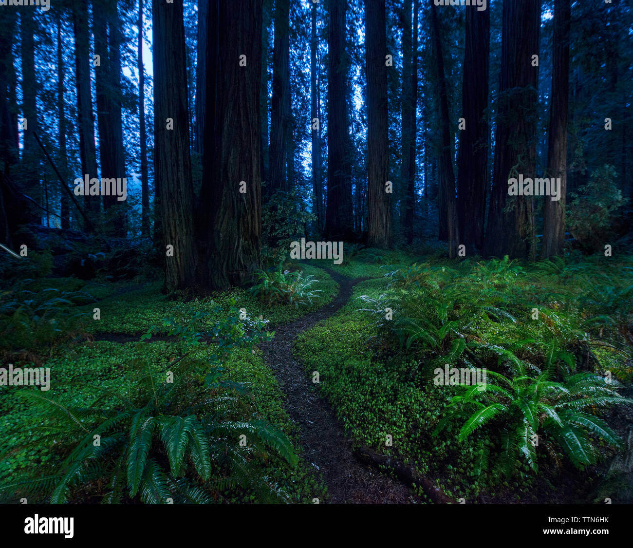 Tranquil view of forest at Jedediah Smith Redwoods State Park - Stock Image