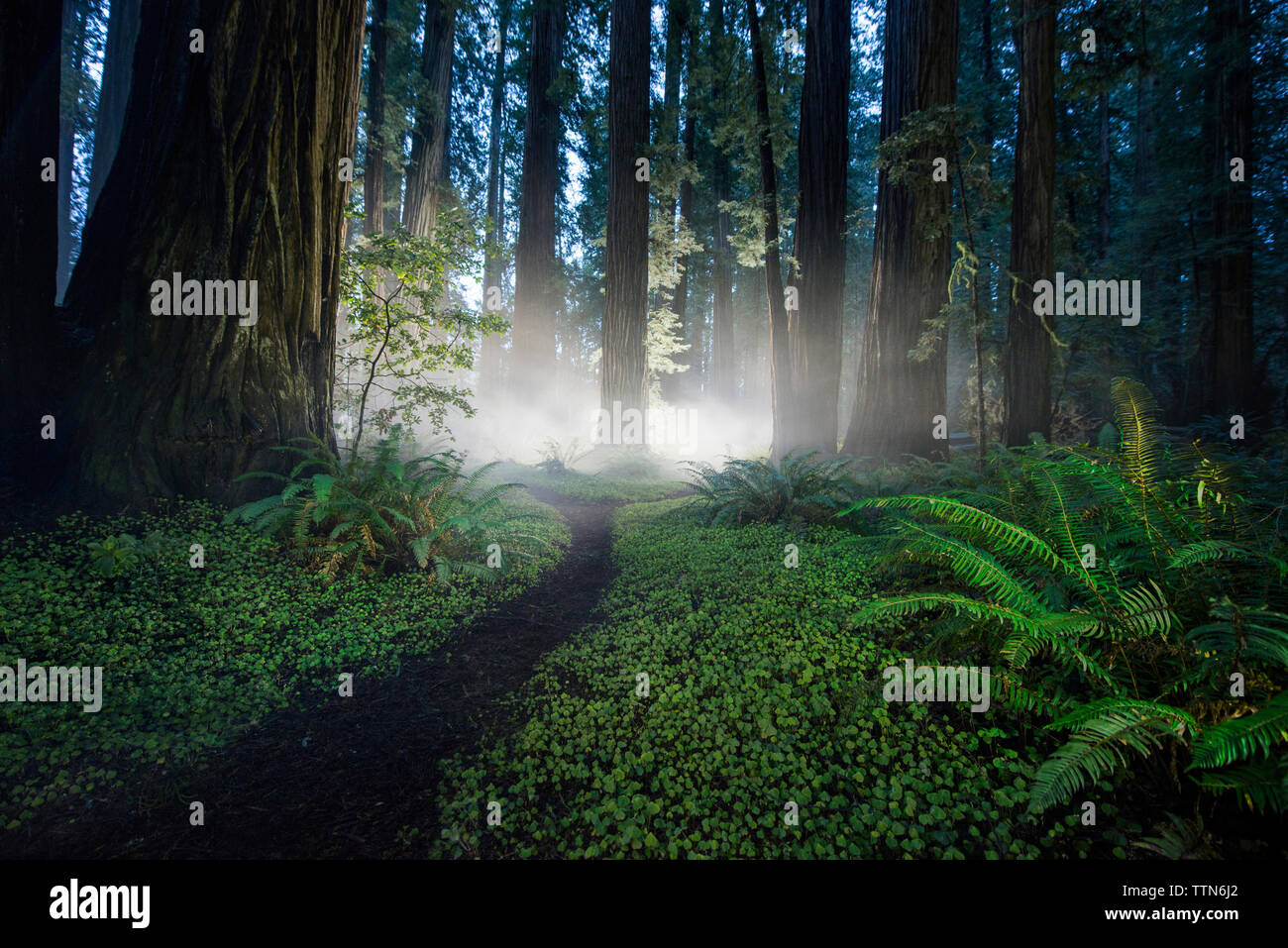 Scenic view of forest at Jedediah Smith Redwoods State Park - Stock Image
