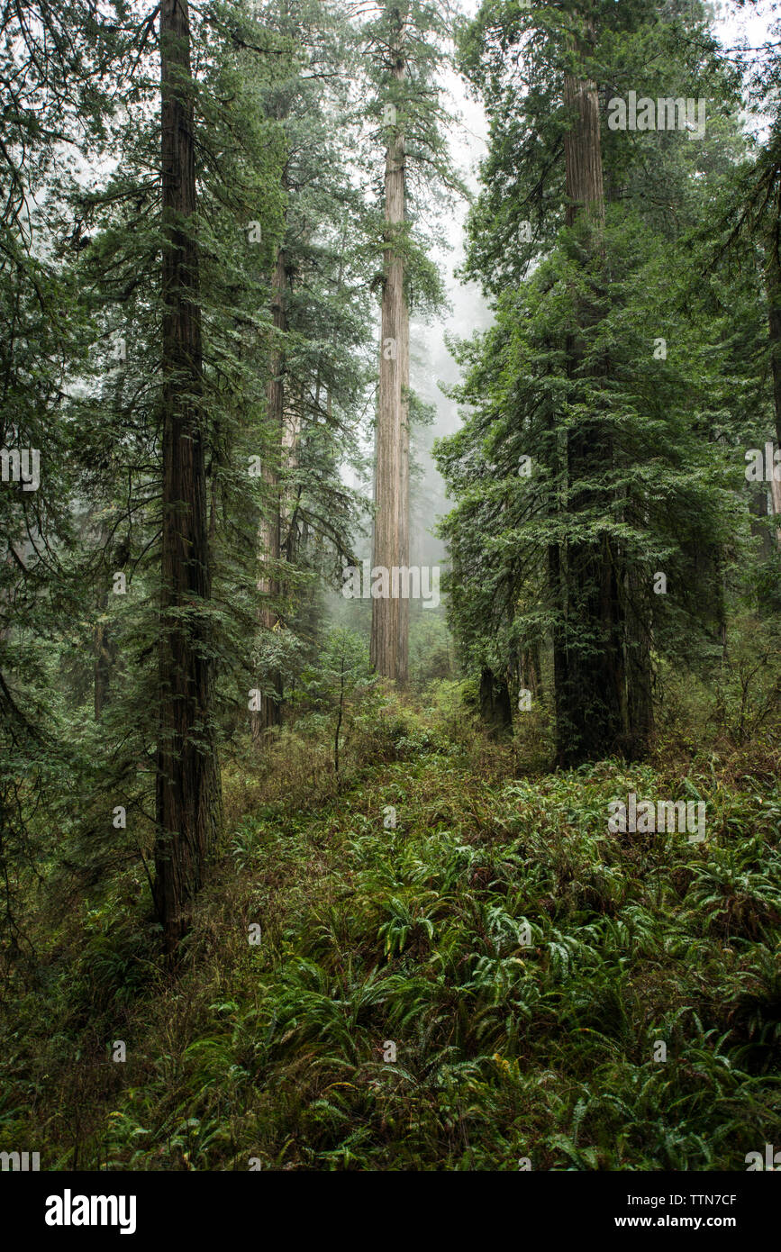 Trees growing at Jedediah Smith Redwoods State Park during foggy weather - Stock Image