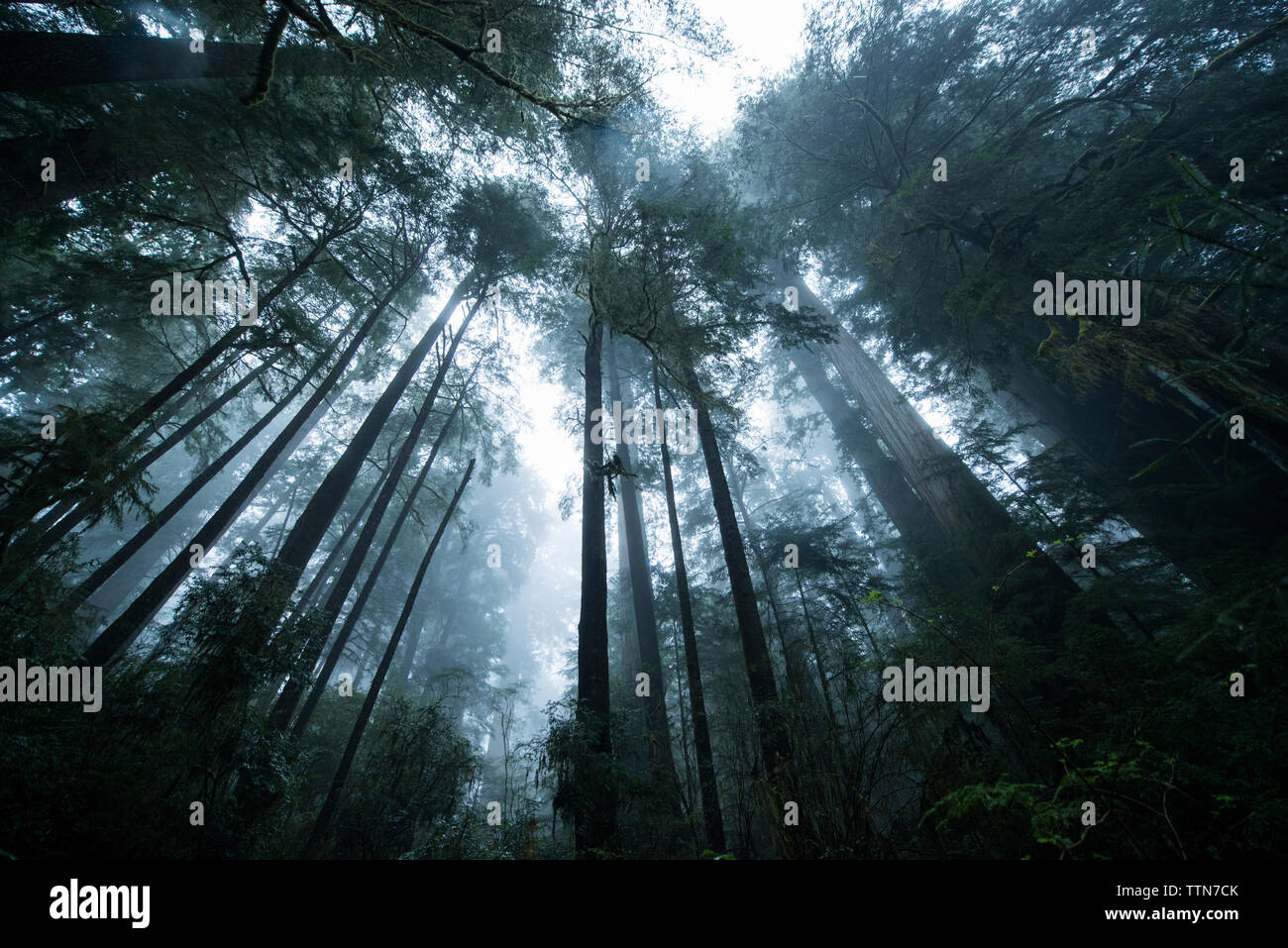 Low angle view of trees at Jedediah Smith Redwoods State Park during foggy weather - Stock Image
