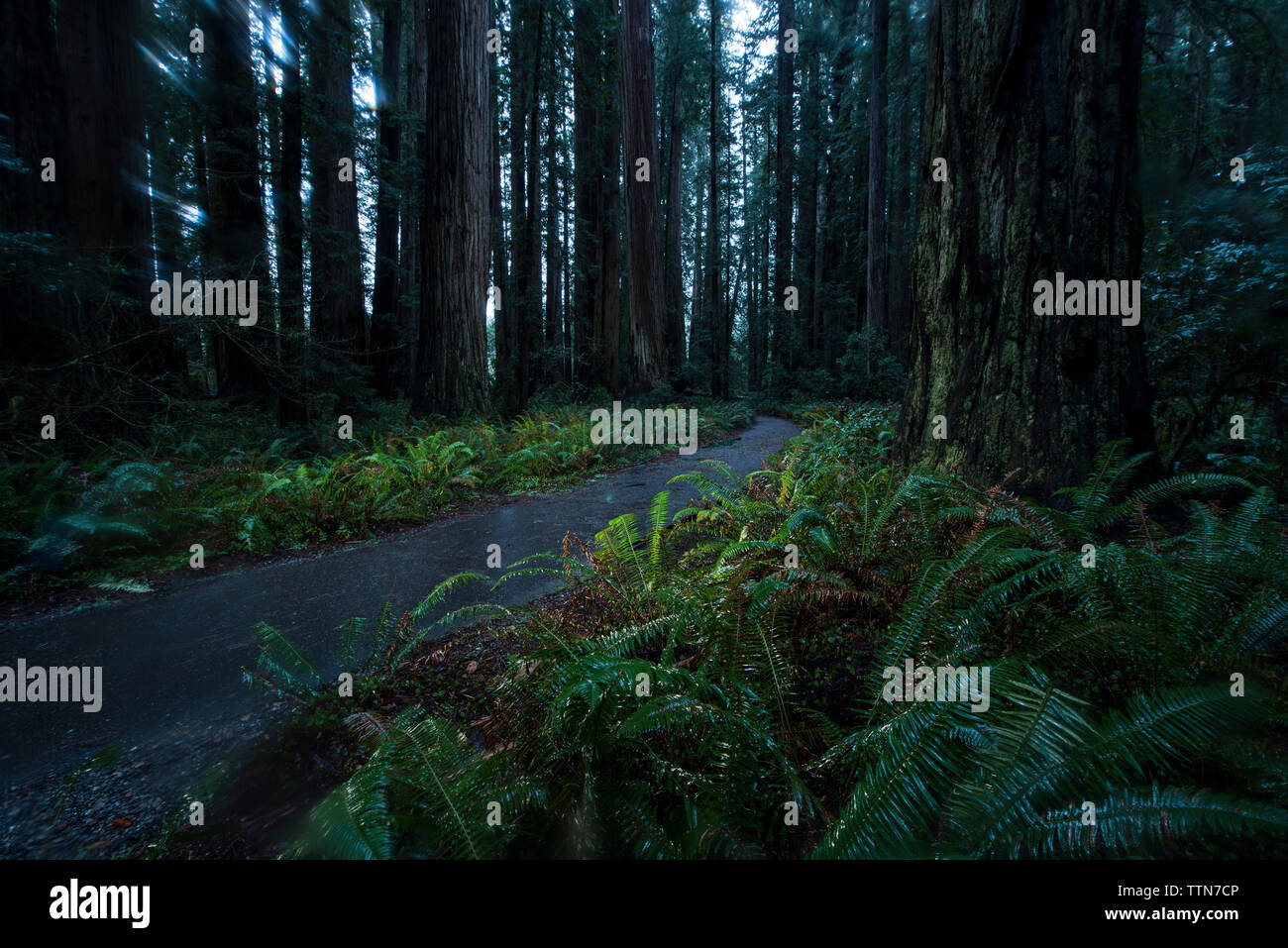 Road amidst plants and trees at Jedediah Smith Redwoods State Park - Stock Image