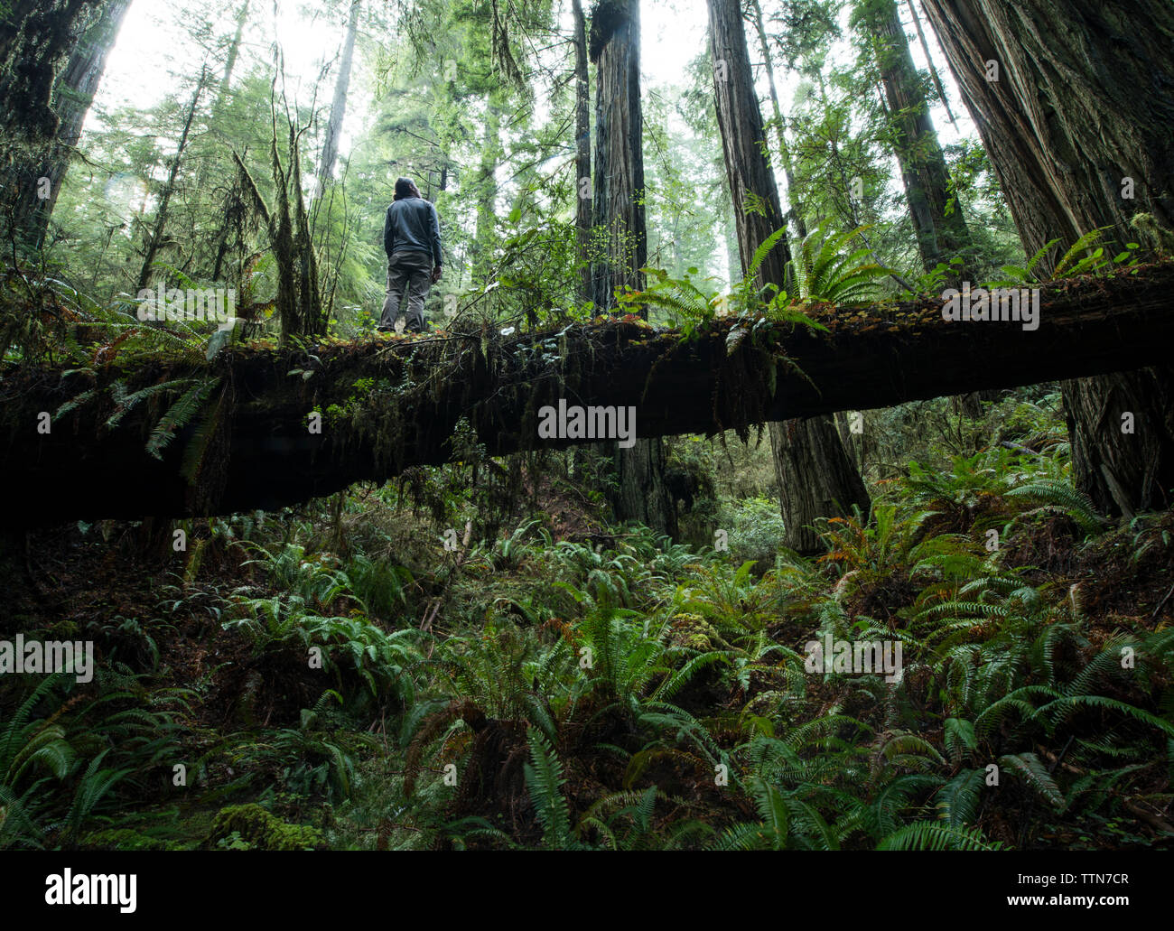 Low angle view of man standing on fallen tree trunk at Jedediah Smith Redwoods State Park - Stock Image