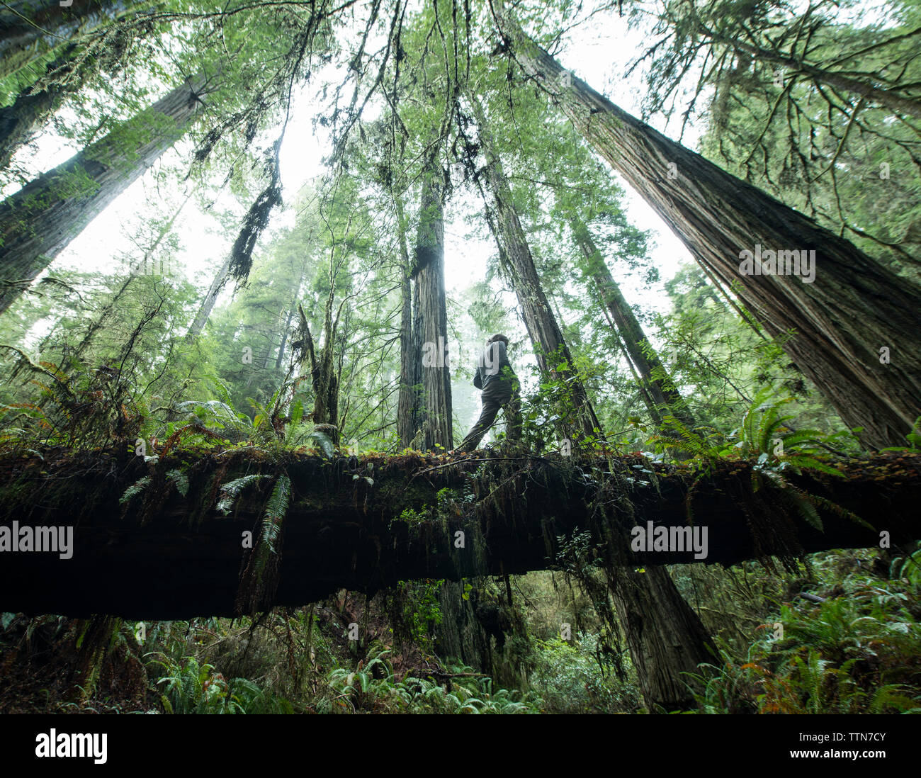 Low angle view of man walking on fallen tree trunk at Jedediah Smith Redwoods State Park - Stock Image