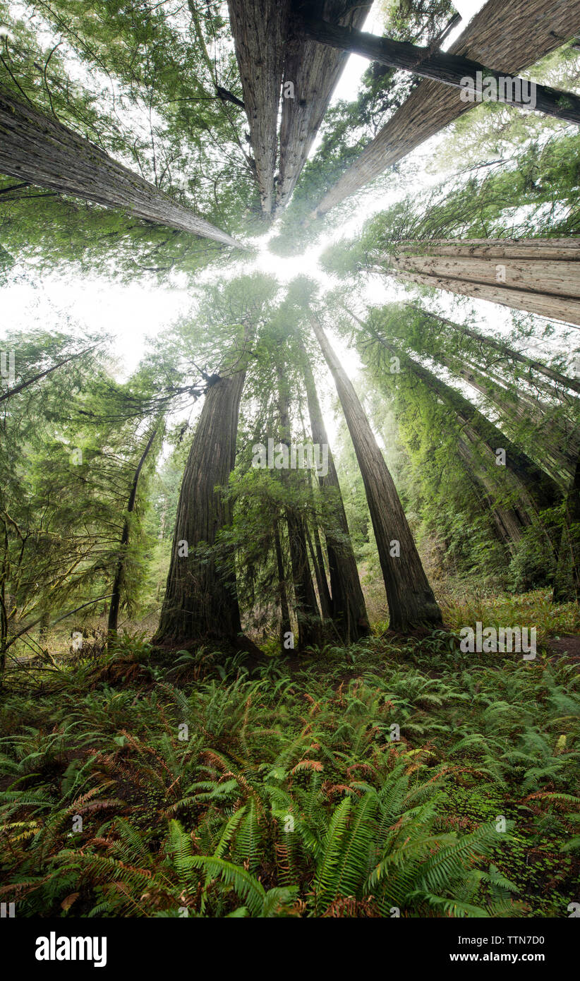Fish eye view of tree growing at Jedediah Smith Redwoods State Park - Stock Image