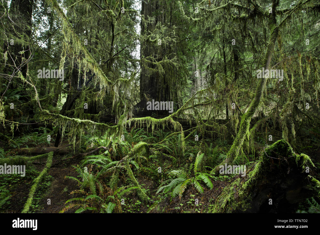 Plants growing at Jedediah Smith Redwoods State Park - Stock Image