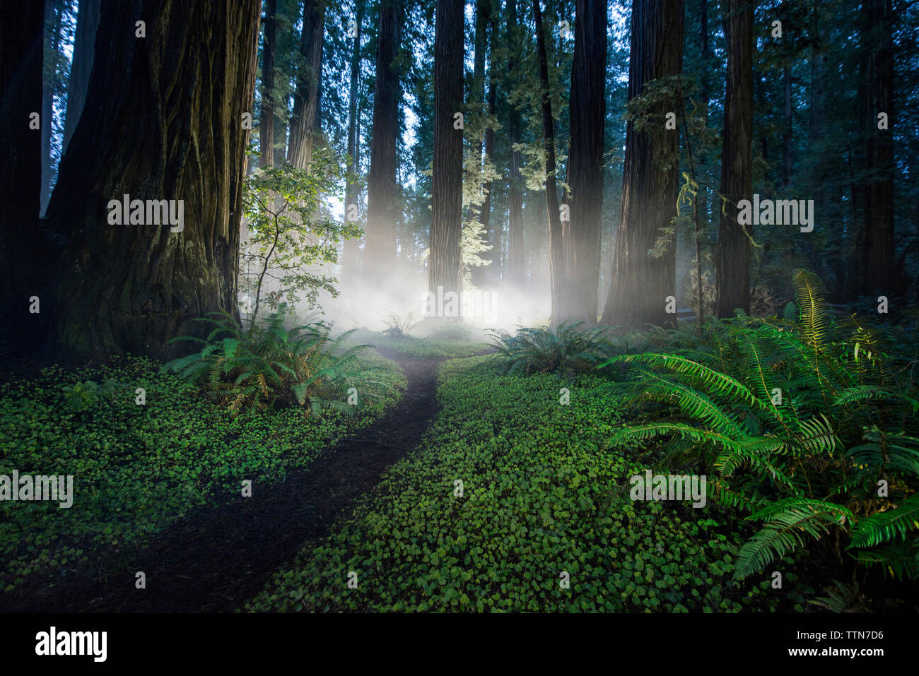 Trail amidst plants at Jedediah Smith Redwoods State Park - Stock Image