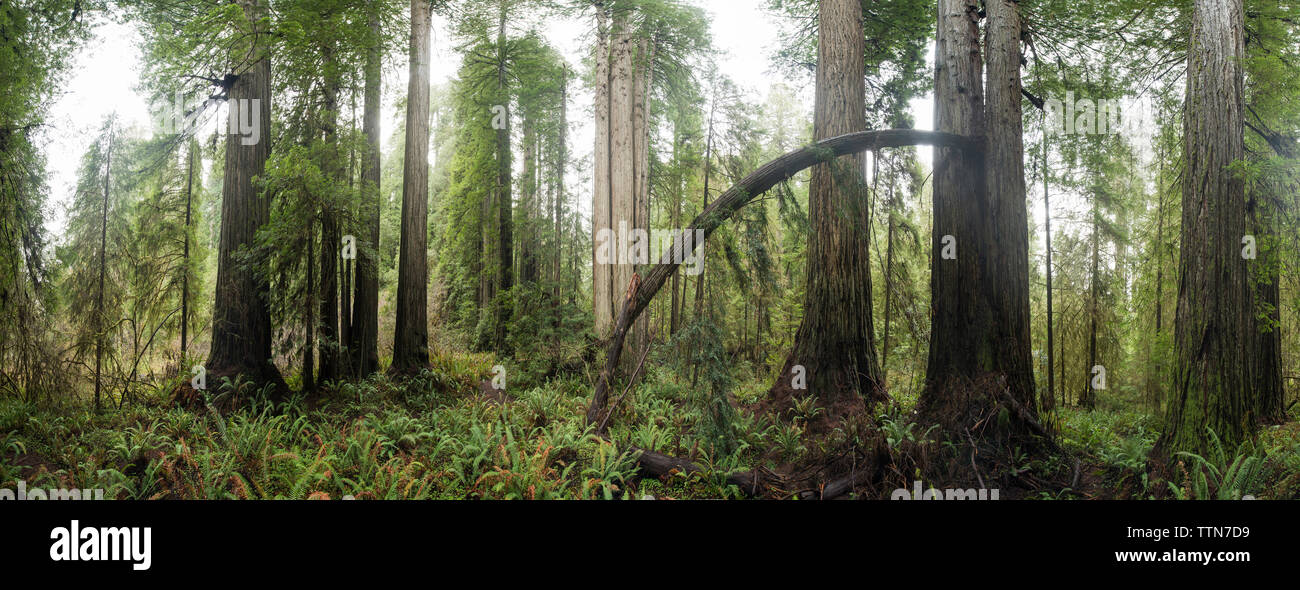 Panoramic view of trees growing in Jedediah Smith Redwoods State Park - Stock Image