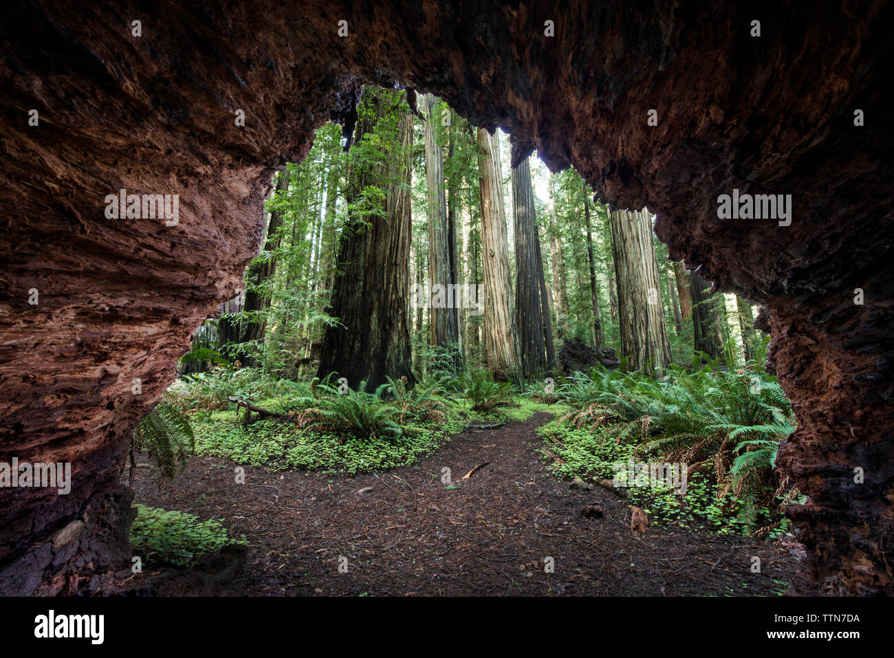 Trees seen through cave at Jedediah Smith Redwoods State Park - Stock Image