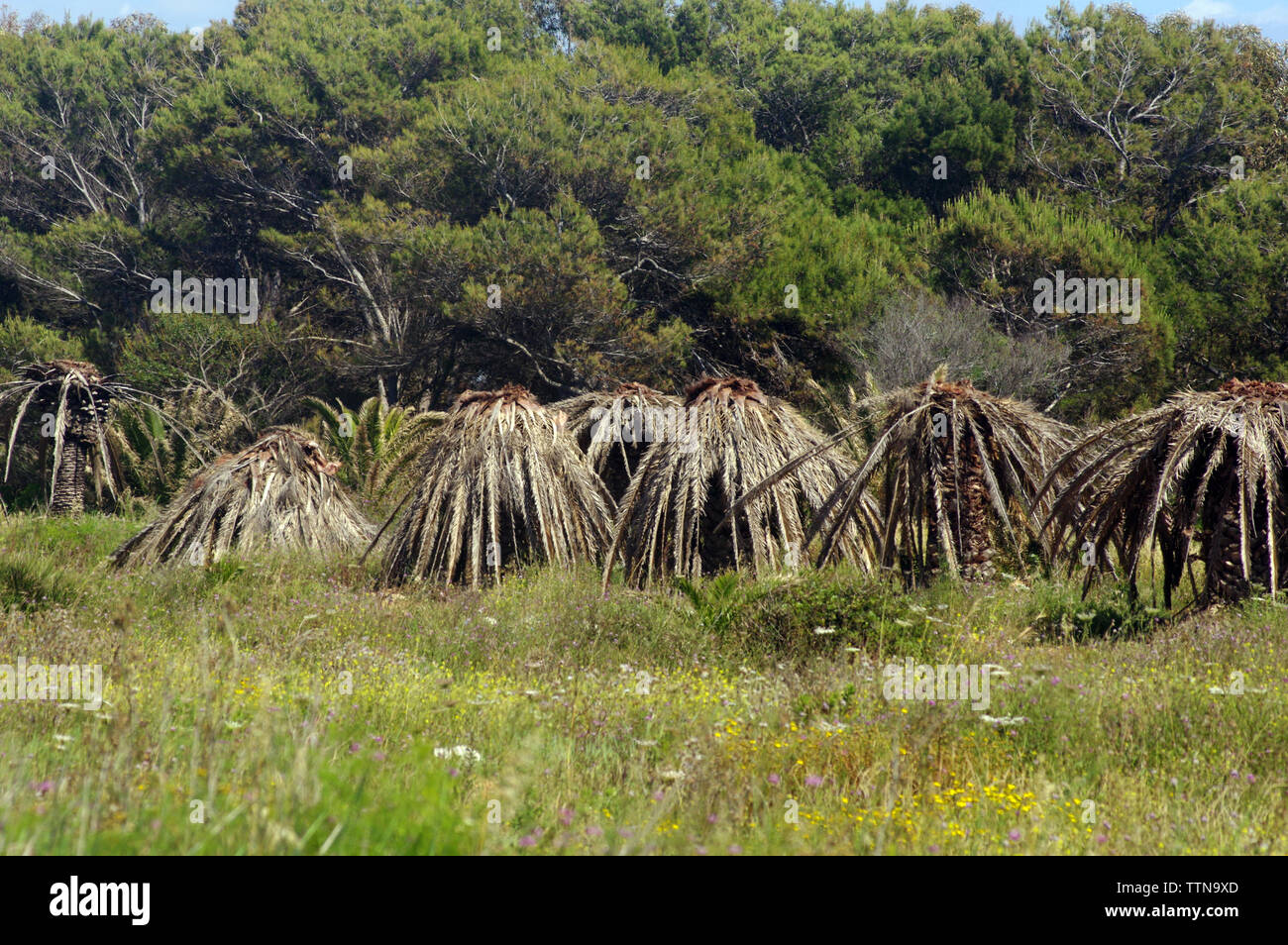 Palms destroyed by the asian red wevill (rhynchophorus ferrugineus) in Sinis Penninsula, Sardinia, Italy - Stock Image