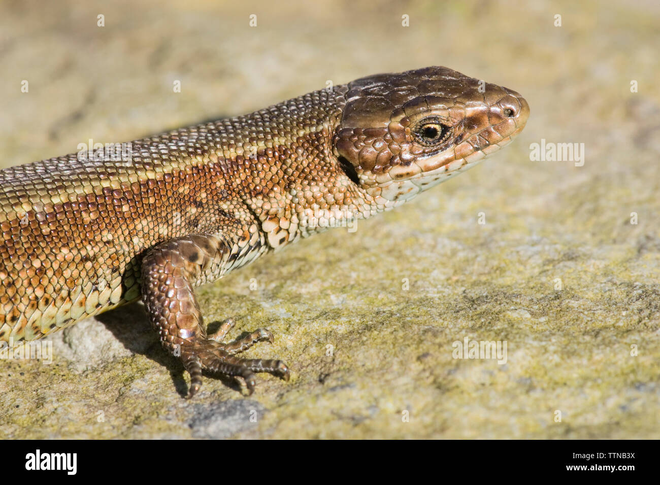 Common Lizard or Viviparous lizard [Lacerta vivipara], photographed in County Cork, Ireland. It is Ireland's only native reptile. - Stock Image