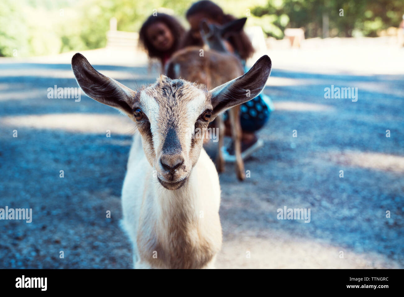 Portrait of kid goat while girls crouching on footpath in background - Stock Image
