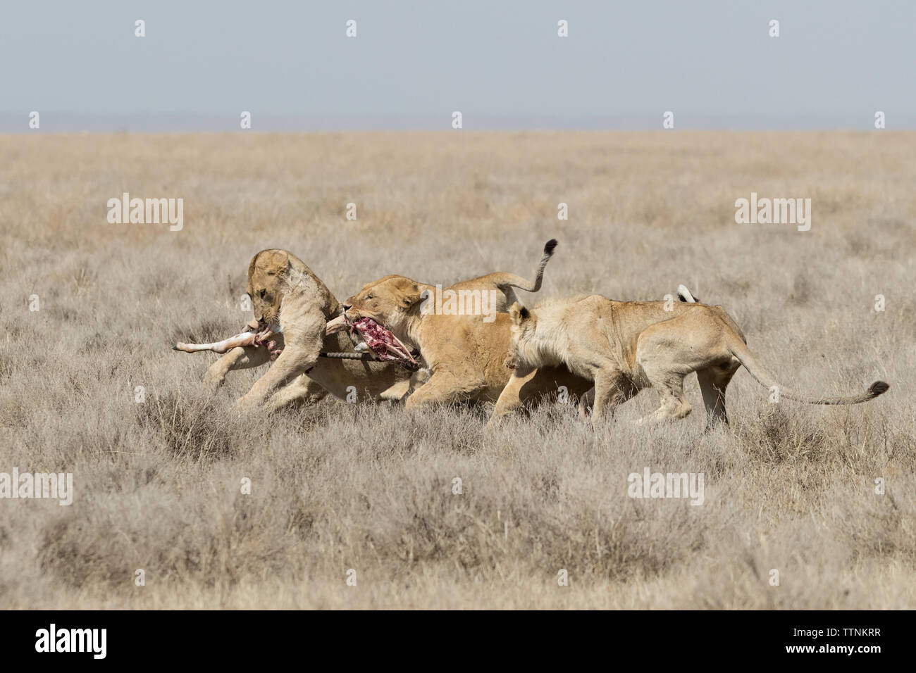 Lions  (Panthera leo) fighting over remains of a kill, Ndutu, Tanzania - Stock Image