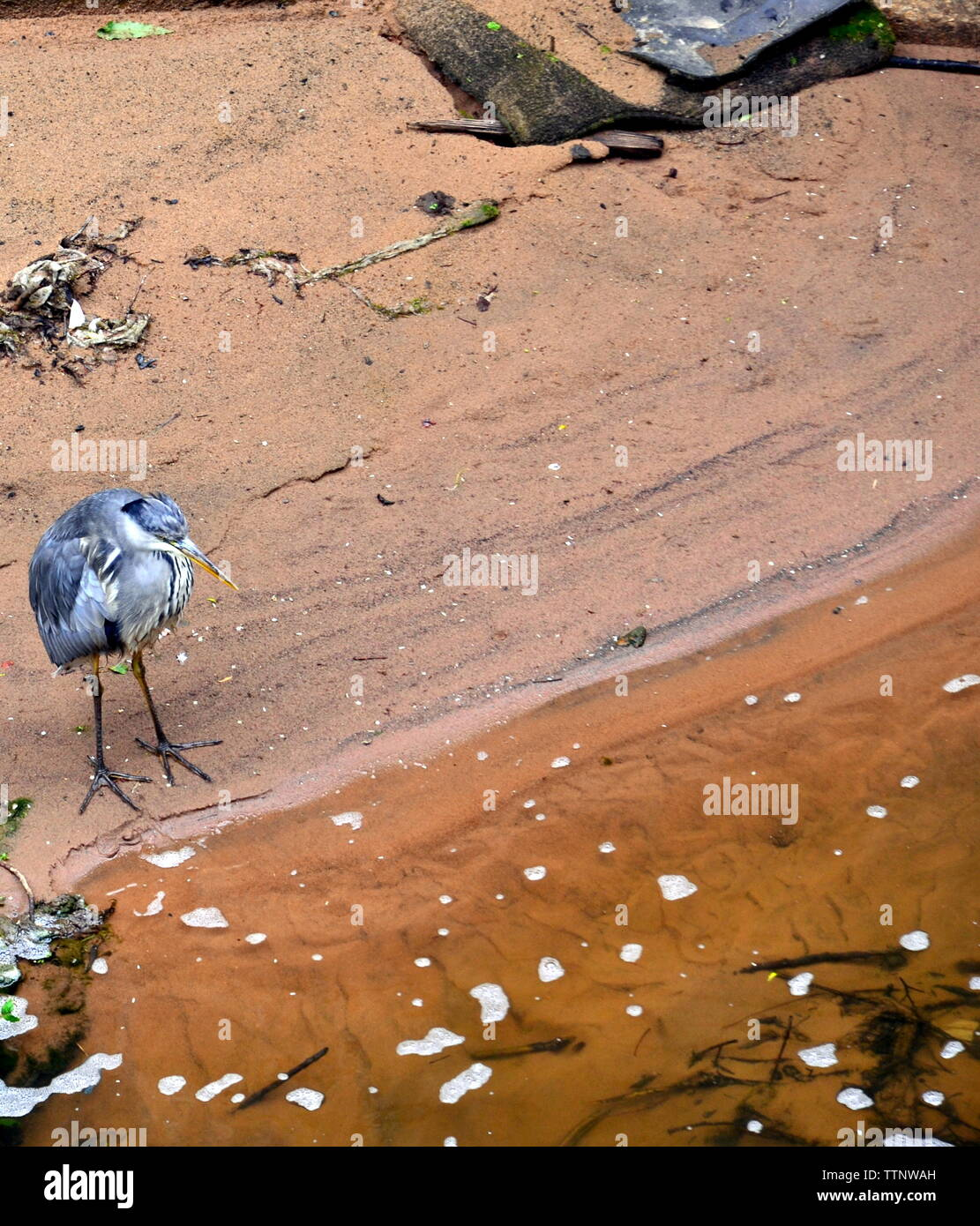 A young heron waits for fish on the River Medlock in city centre Manchester, uk. A report in 2018 showed that brown trout had returned to the formerly polluted river after a programme of improvements by the Environment Agency and Manchester City Council. - Stock Image
