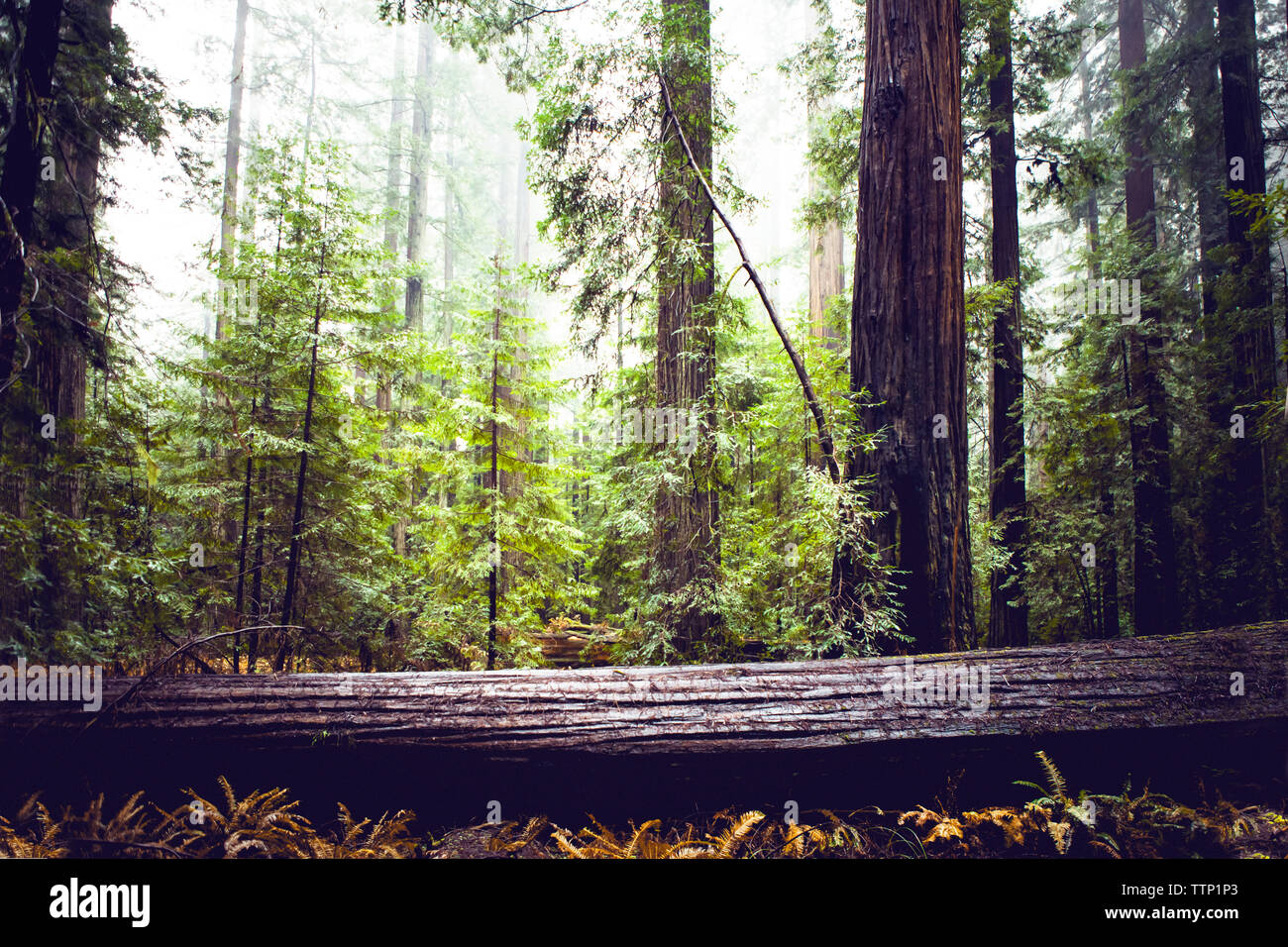 Redwood trees at state park - Stock Image