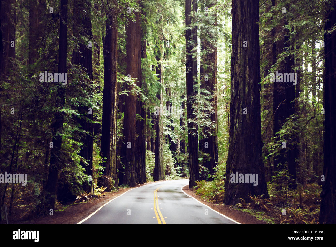Empty road amidst redwood trees at state park - Stock Image