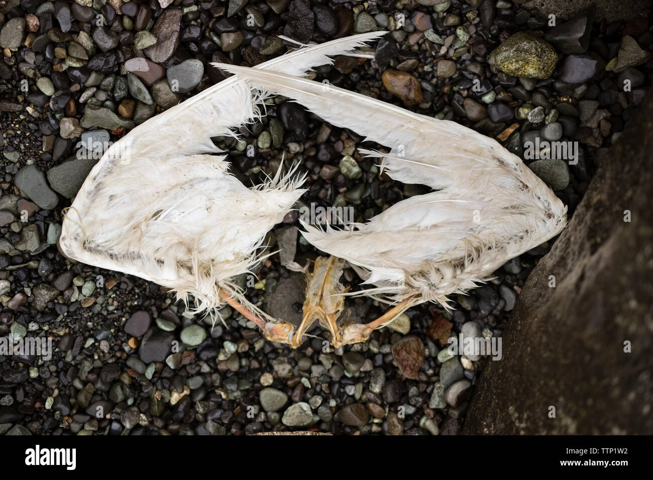 Overhead view of wings of dead bird - Stock Image