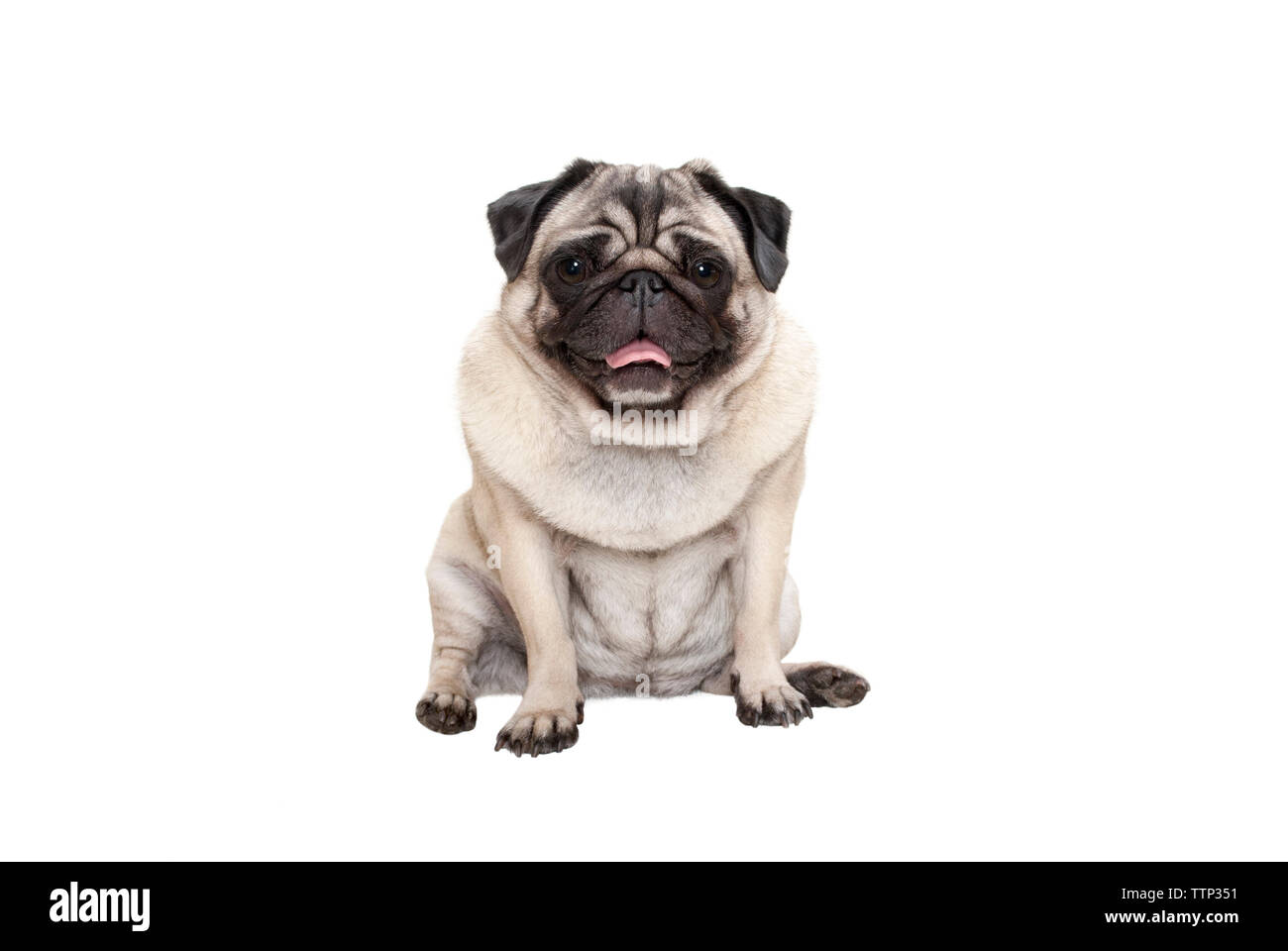adorable cute smiling pug puppy dog sitting down with tongue out, isolated on white background Stock Photo