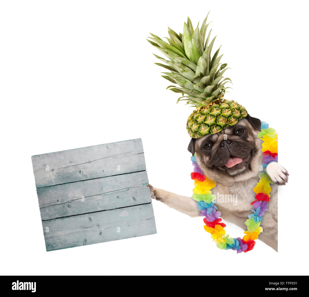 funny frolic summer pug dog with hawaiian flower garland and pineapple hat, holding wooden sign, isolated on white background Stock Photo