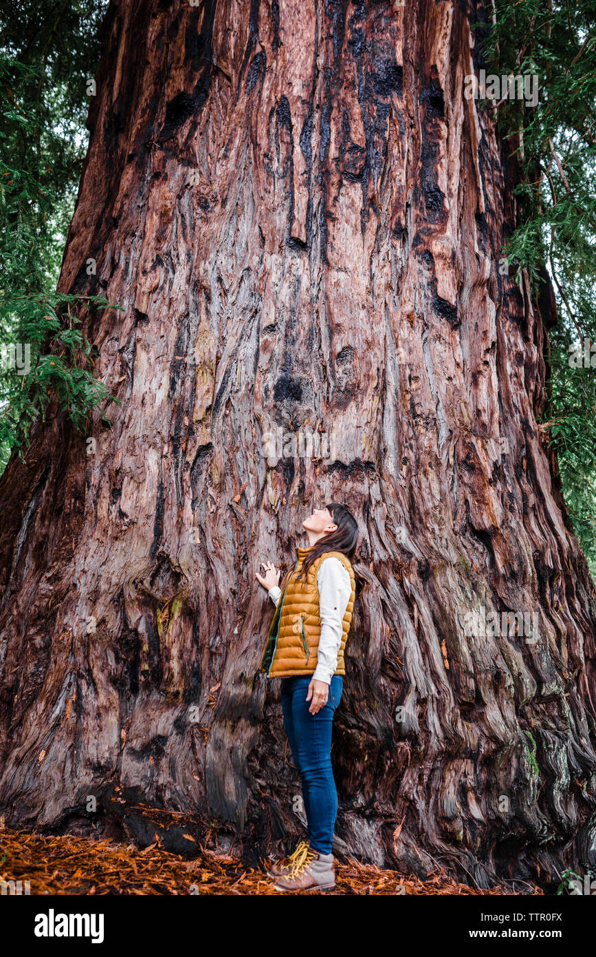 Woman looking up at giant redwood tree Stock Photo