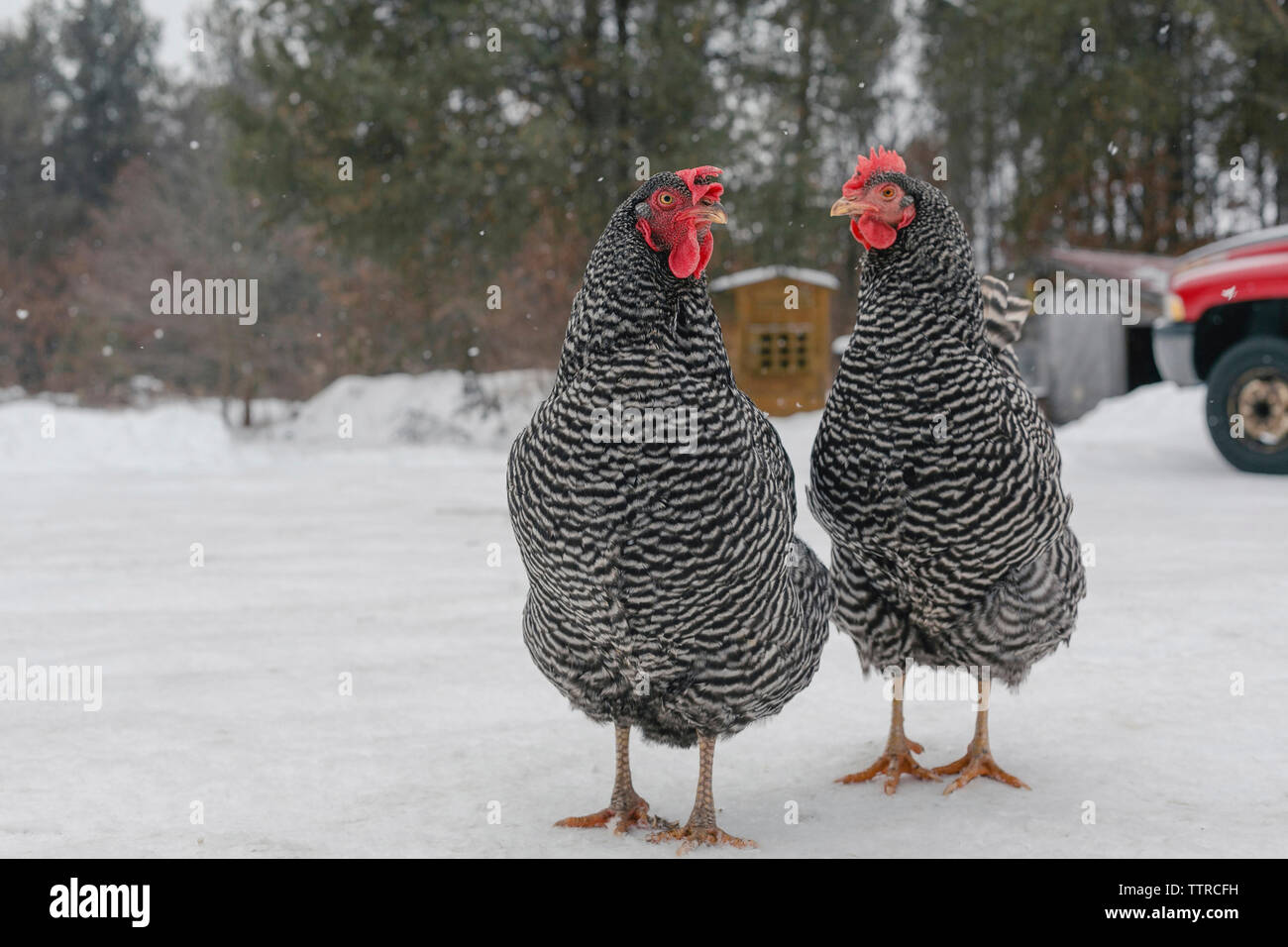 Hens standing on snow covered field - Stock Image