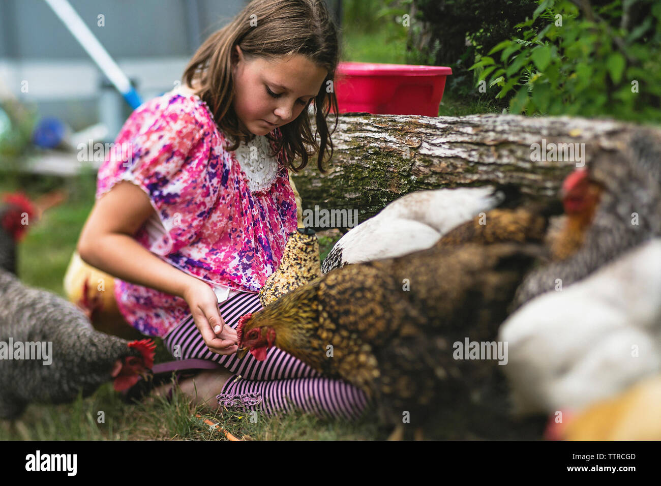 Girl playing with hens in backyard - Stock Image