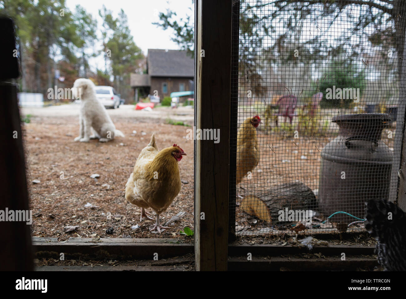 Hens and poodle on field seen through chicken coop - Stock Image
