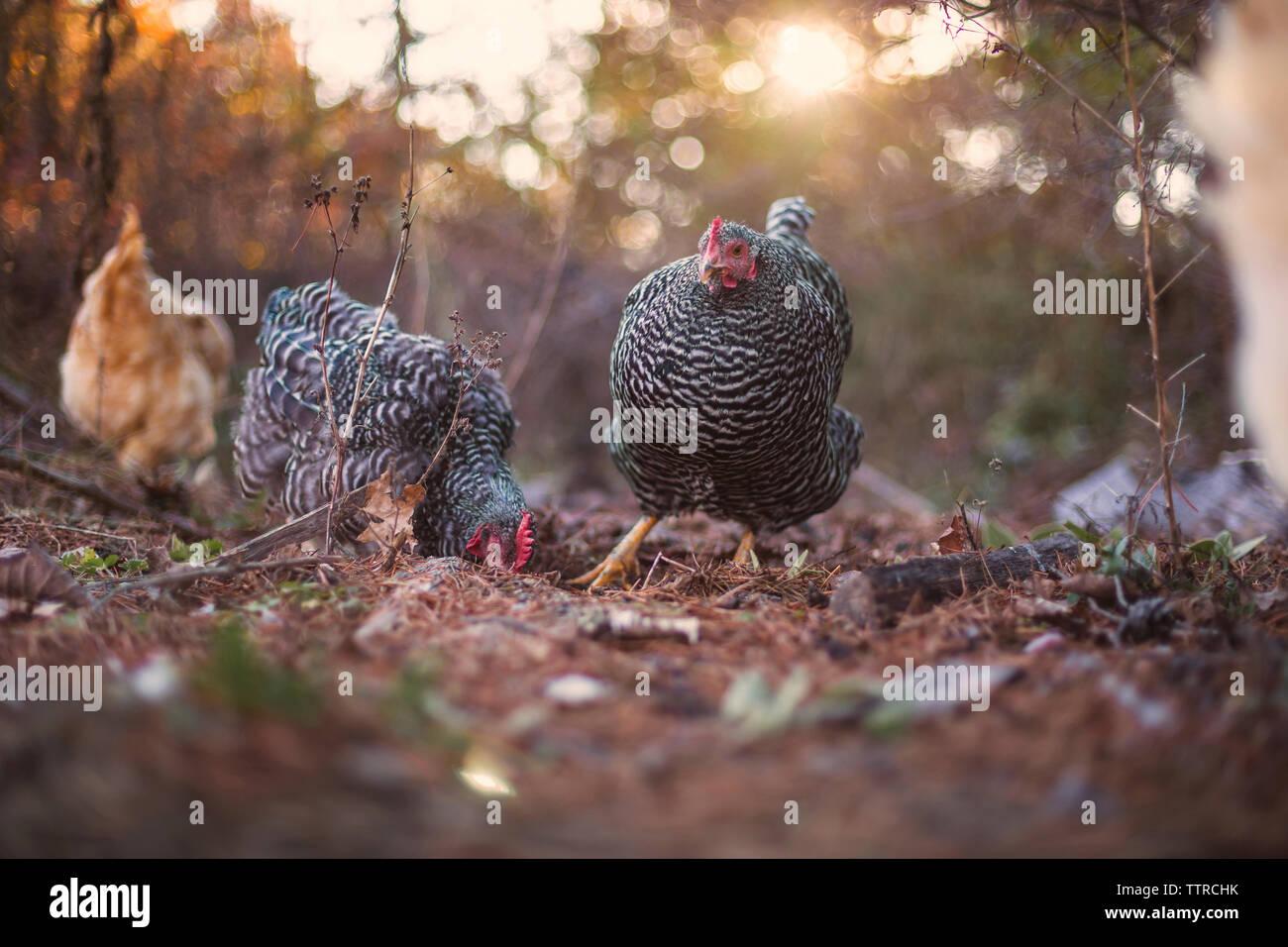 Hens on field in farm - Stock Image