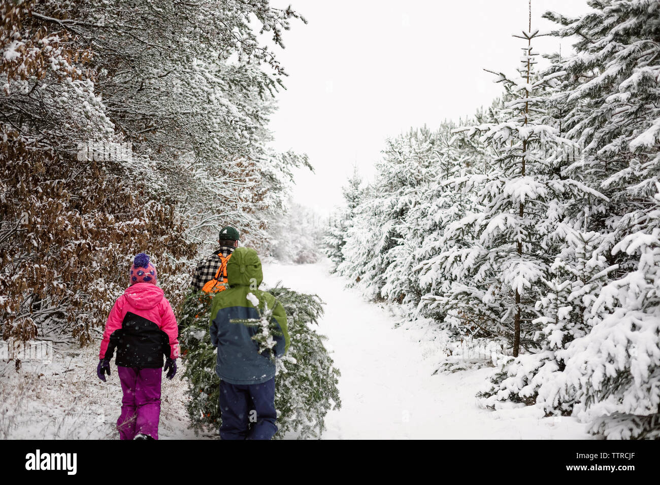 Rear view of family carrying pine tree while walking on snow covered field - Stock Image