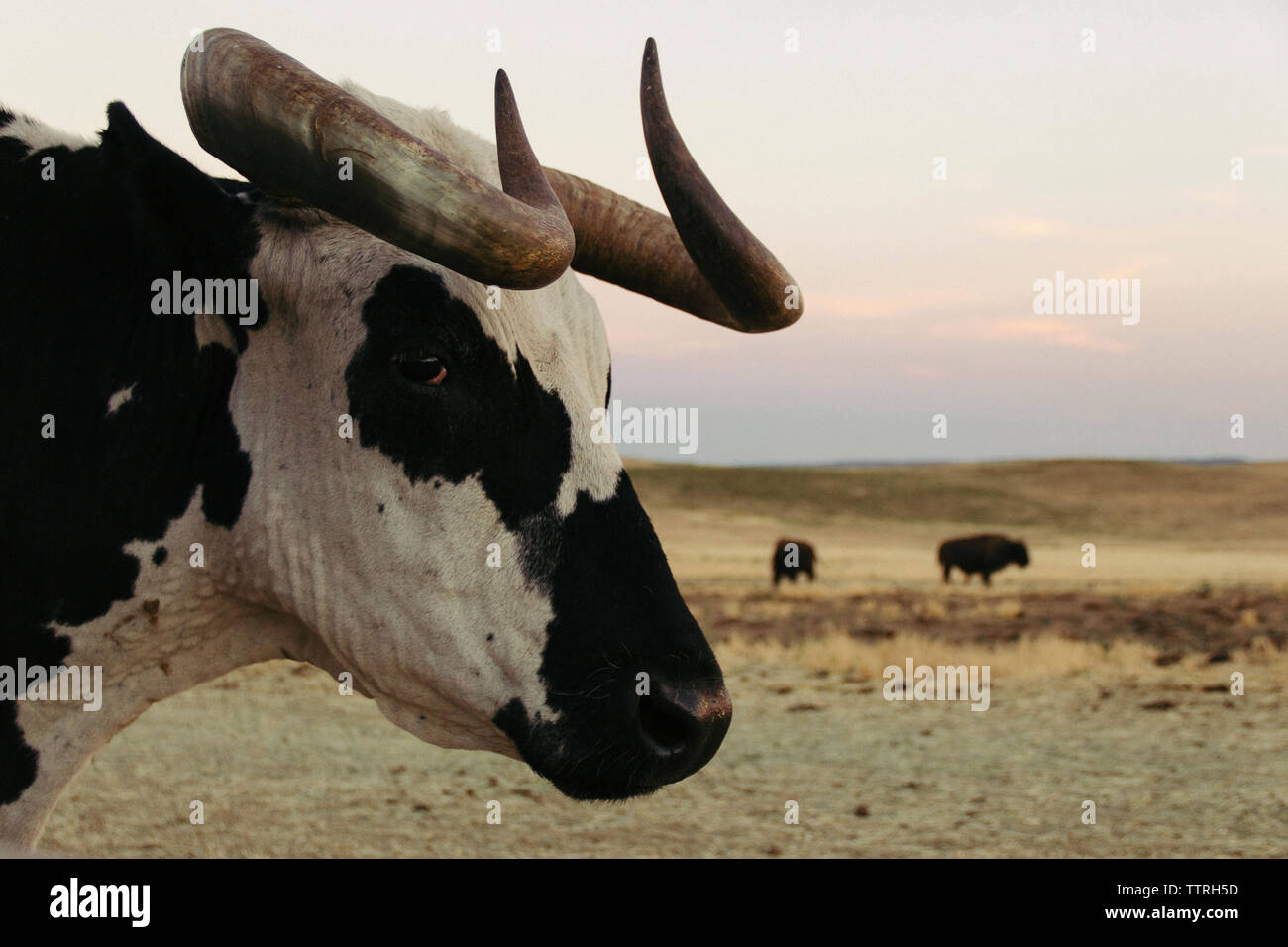 Close-up of buffalo with American bison in background Stock Photo